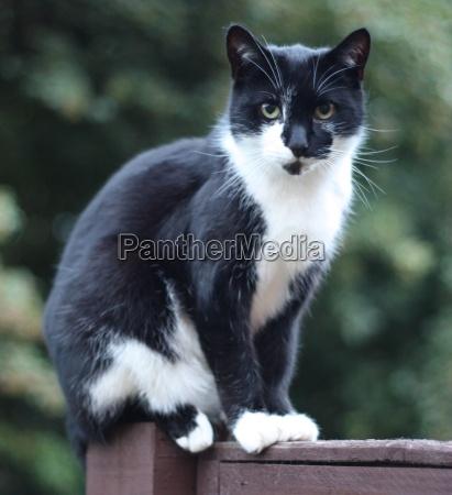 beautiful black and white domestic pet