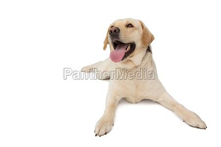 yellow labrador dog lying with tongue