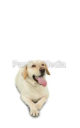 golden labrador dog lying