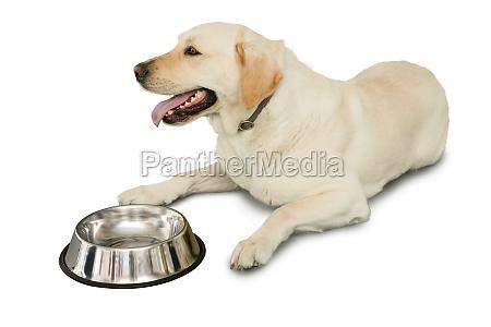 cute labrador dog lying beside water