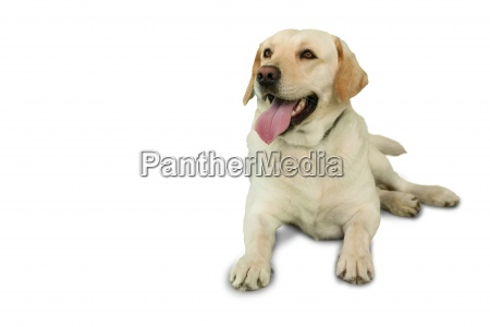 cute labrador dog lying on floor