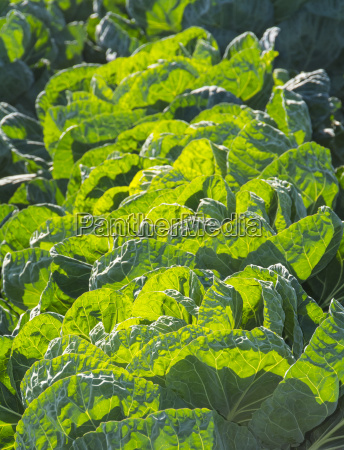 cabbage heads