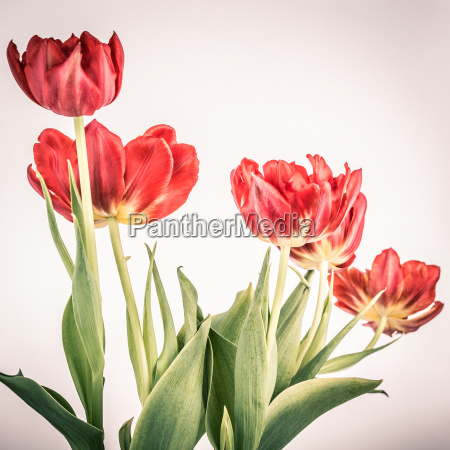 red tulips in vintage
