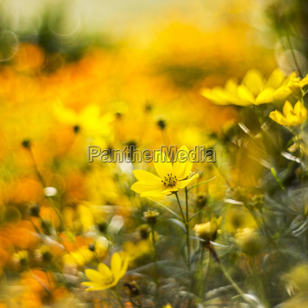 cosmos flowers with bokeh abstract