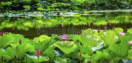 pink lotus garden reflection summer palace
