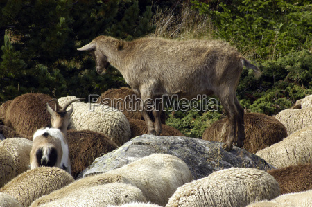 sheep sheep use bearer use animal
