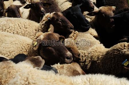 sheep livestock farm animal animal husbandry