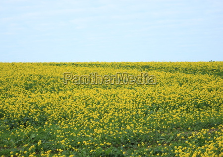 endless yellow flower field with blue
