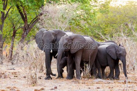 a herd of african elephants drinking