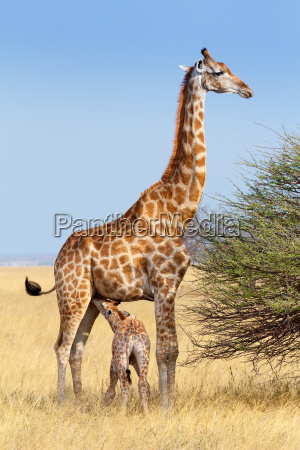adult female giraffe with calf suckling