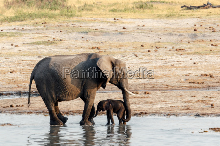 african elephants with baby elephant drinking
