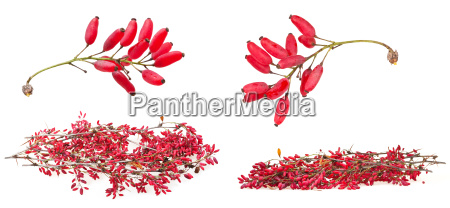 set of red berberis shoot with