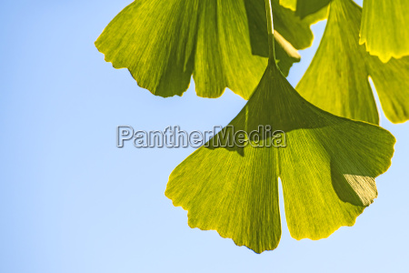 ginkgo leaves on the tree