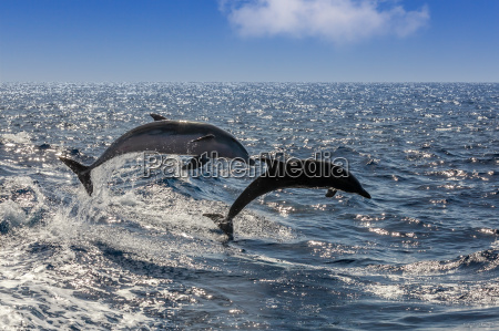 jumping dolphins in the atlantic off