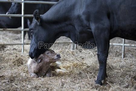 fresian cow washing newborn calf on