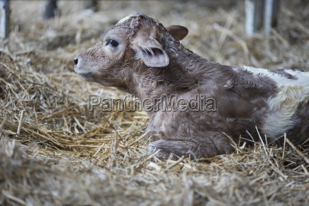 newborn fresian calf on farm