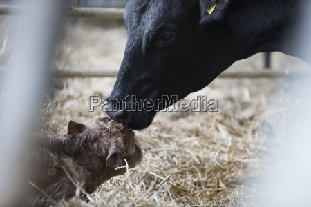fresian cow washing newborn calf on