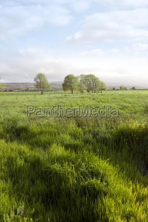 long green grass for soilage