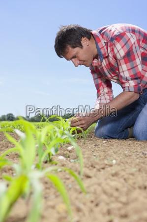 farmer examining corn seedling in field