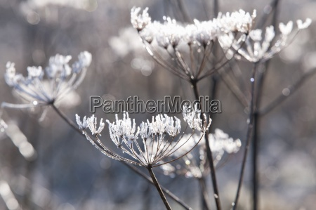 frost daekket ko persille stilke om