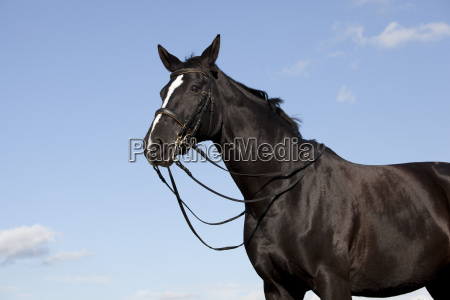 brandenburger horse portrait