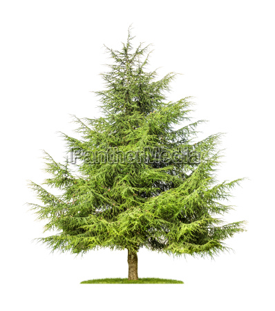 indemnified cedar against a white background
