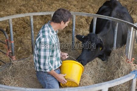 livestock farmer feeding cattle