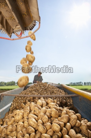 potatoes falling into trailer with farmer