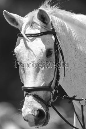 horse portrait black white vintage