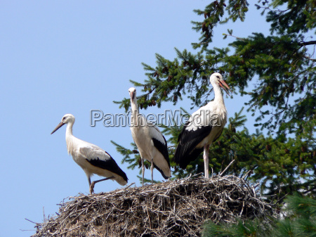 nest with three white storks ciconia