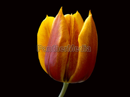 tulip yellow red exempted