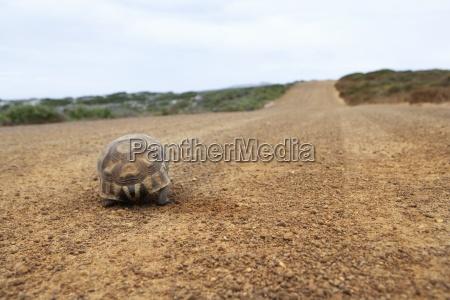tortoise walking along dirt road rear