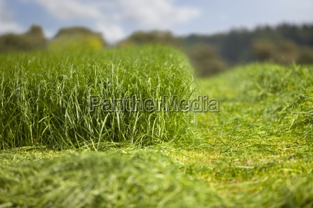 growing and cut silage in farm