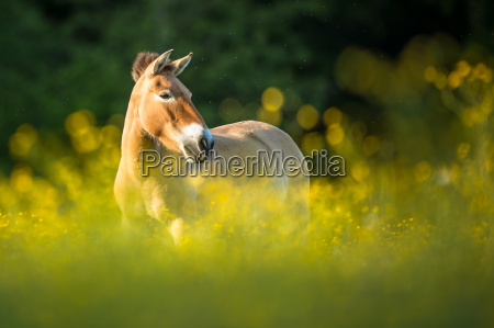 przewalski horse grazing on a lovely