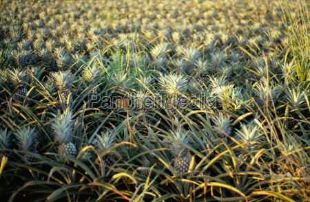 pineapple plantation on the island of