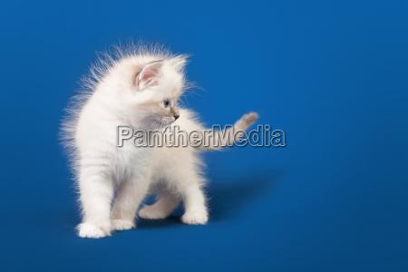 small siberian neva masquerade kitten