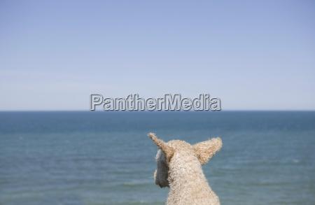 horizontal color photography sheepdog purebred dog