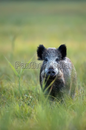 boar, in, a, clearing, in, the, wild - 13029780