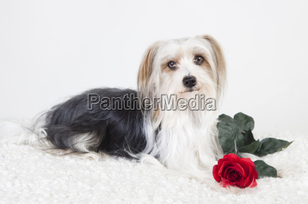 little dog with rose