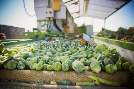 agriculture america being sorted box brassica