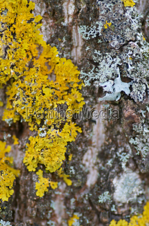 yellow lichens on old tree bark