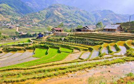 vietnamese rice terraced fields in sapa