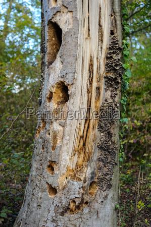 rotten pnia drzewa z otworami dzieciola