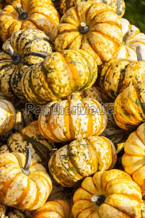 sweet lightning pumpkin pumpkin cucurbita microwave