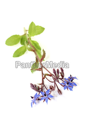 fresh blue borage