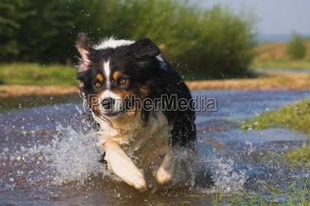 australian shepherd full of dynamism