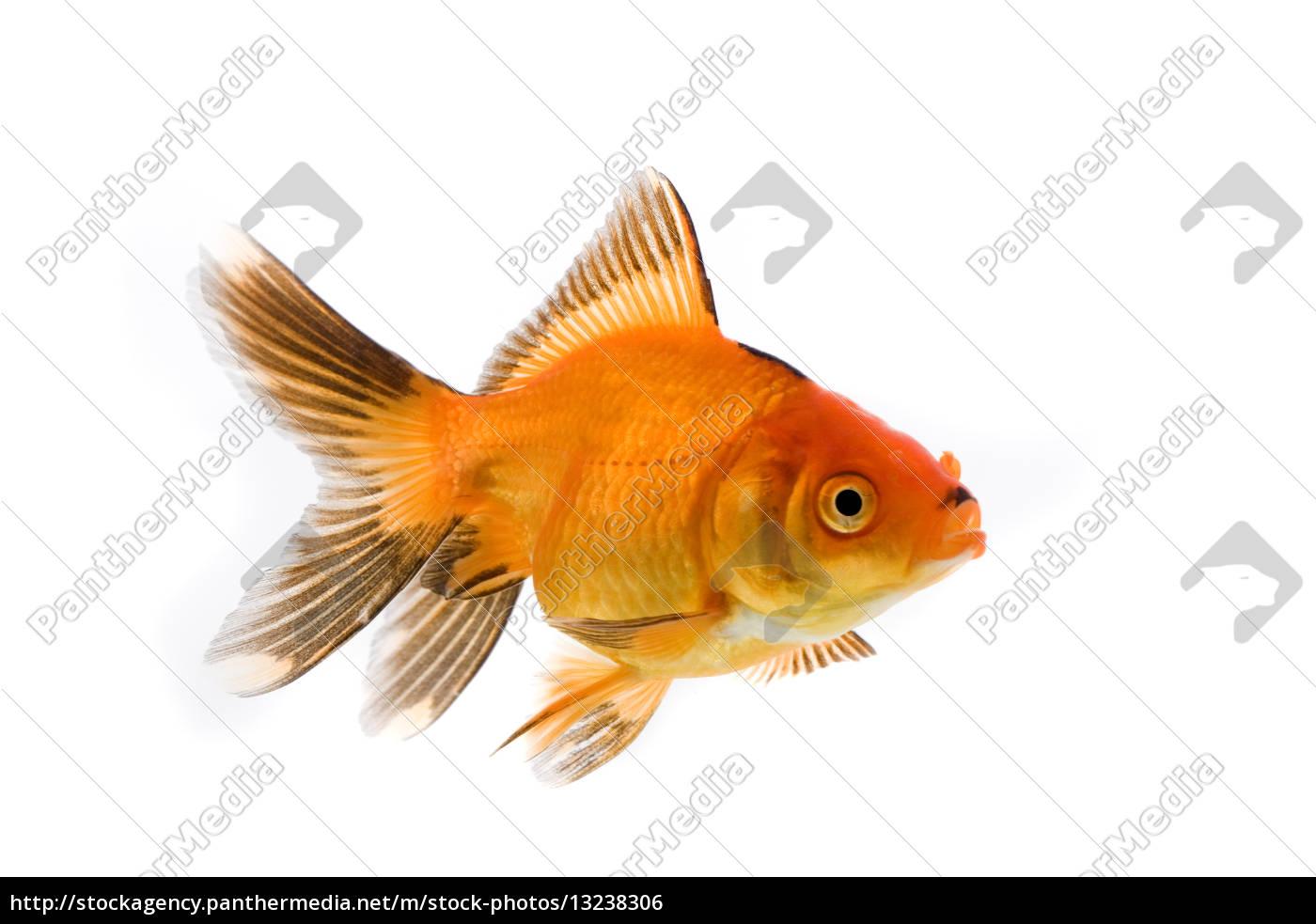Aquarium Fish Pisces Japan Toy Fish Goldfish Carp Breed Stock