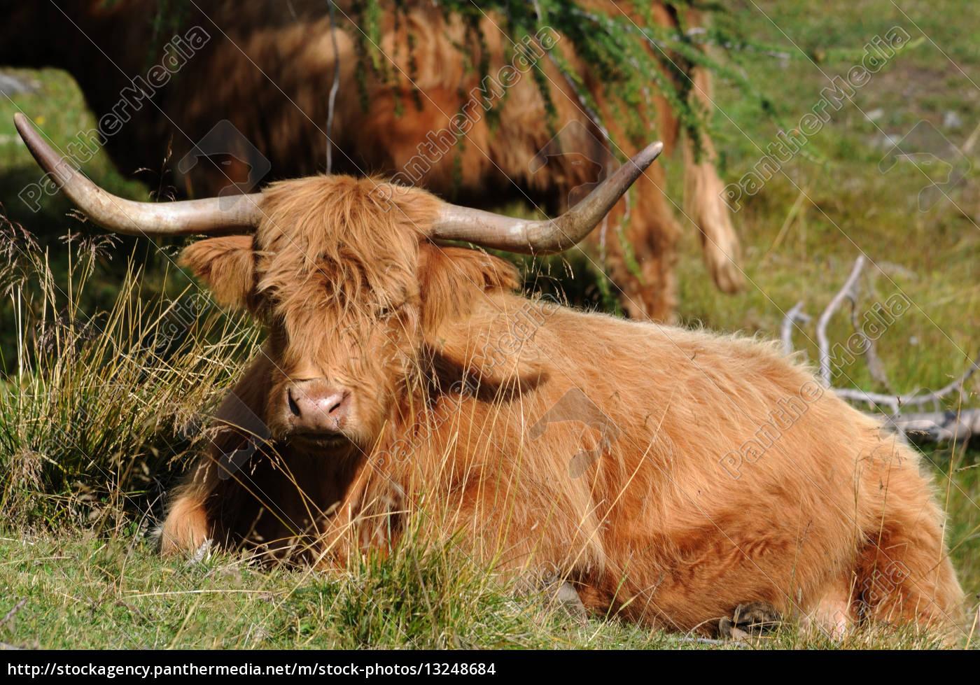 Royalty Free Photo 13248684 Highland Cattle Scottish Highland Cattle