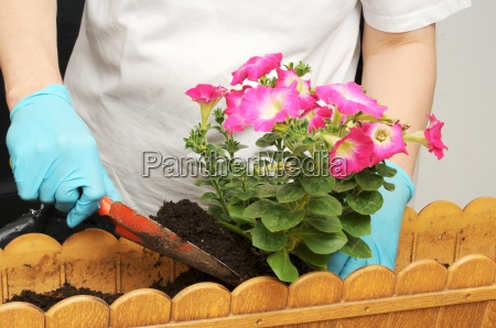 balcony planting planting petunias