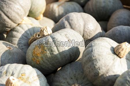 blue blue hokkaido pumpkin cucurbita pumpkin